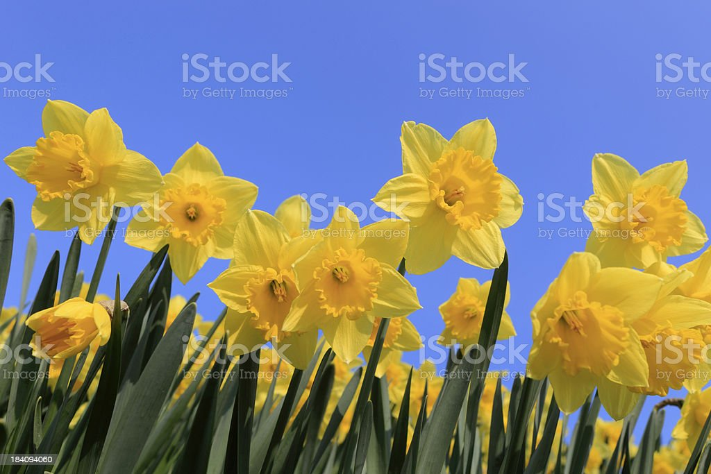 group of yellow daffodils in full bloom royalty-free stock photo