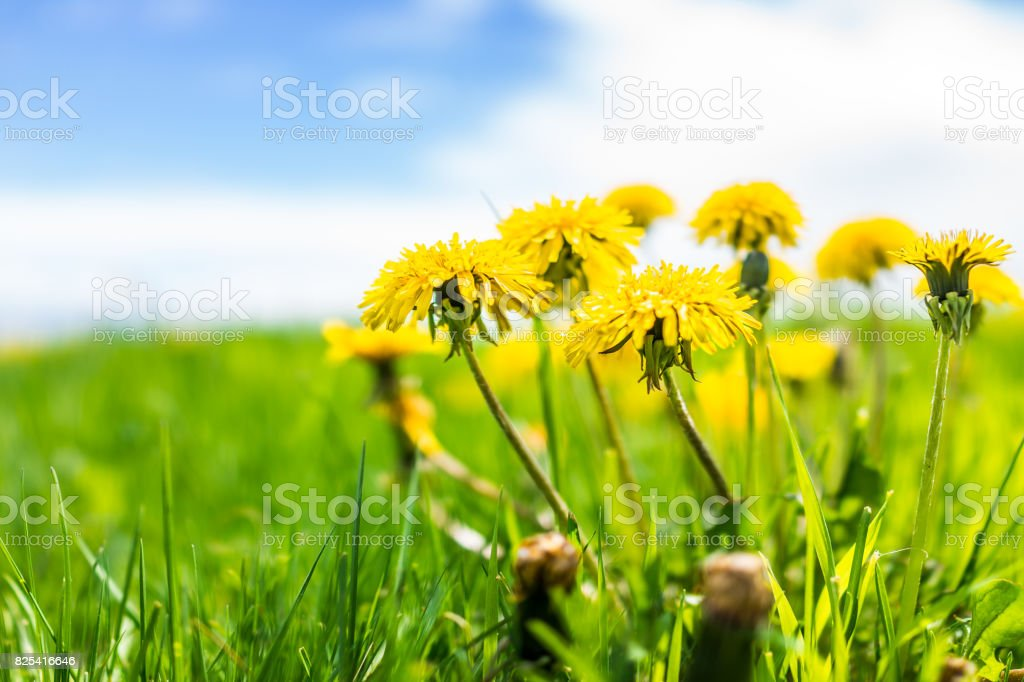 Group of yellow dandelion flowers in green grass in Quebec, Canada Charlevoix region with blue sky stock photo