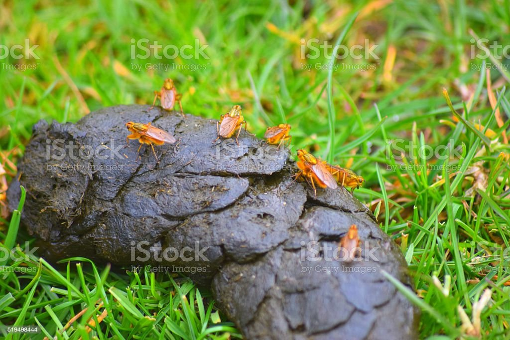 group of yellow dung flies stock photo