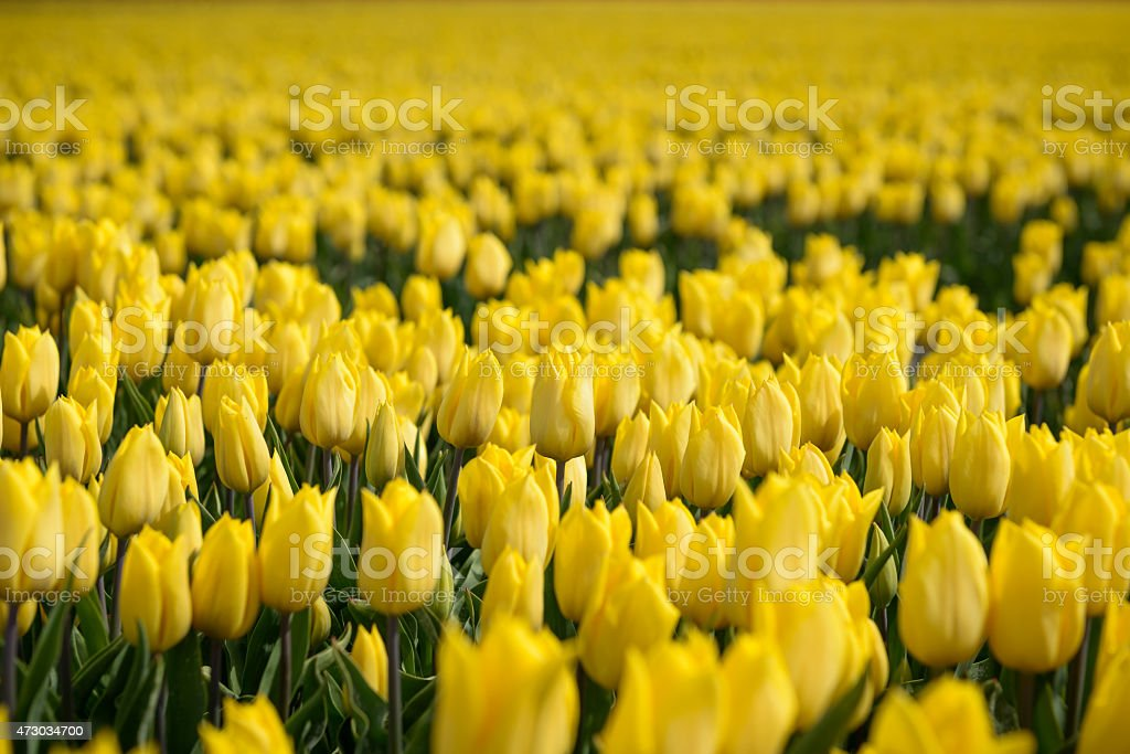 Group of yellow tulips in the field stock photo