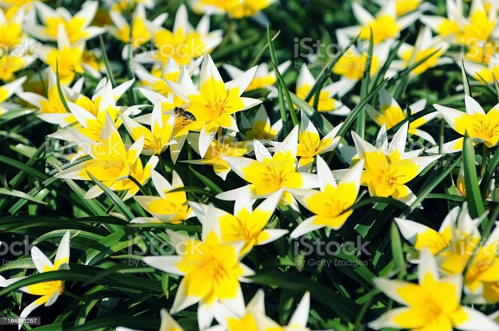 group of yellow white star tulips in flowerbed stock photo