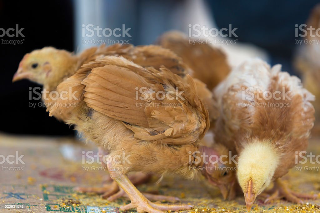 Group of young chicks for sale stock photo