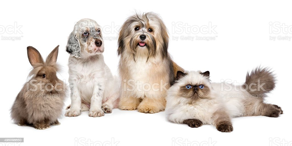 Group of young dogs, cat, rabbit in front of white stock photo