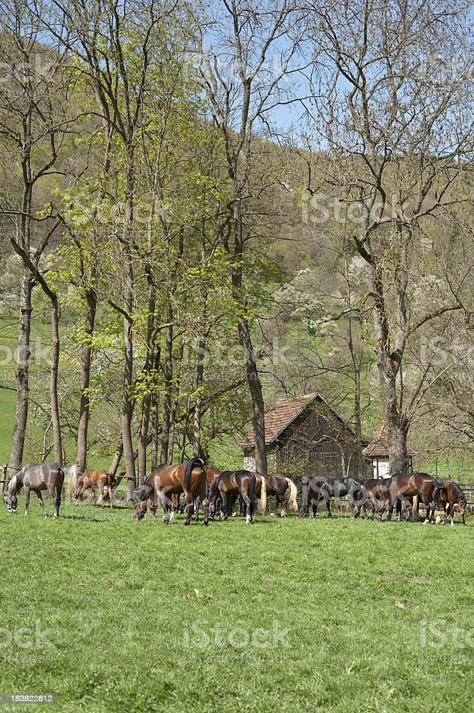 Group of young horses grazing stock photo