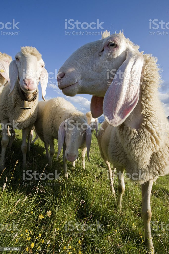 group of young sheep looking into the camera royalty-free stock photo