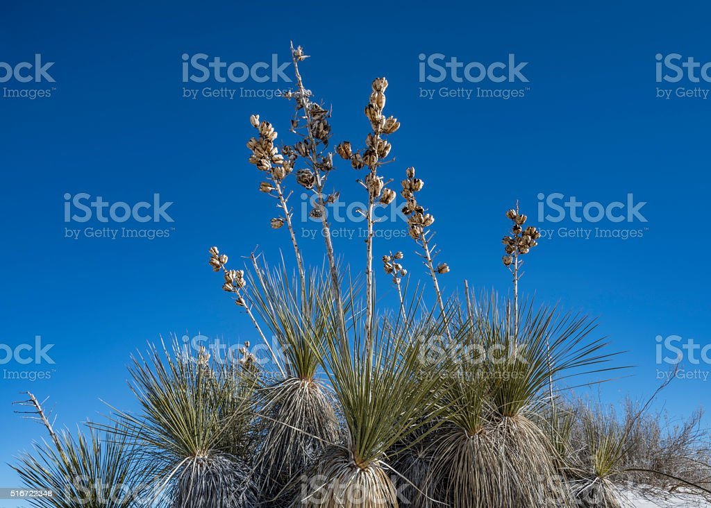Group of yucca with dried flower stalks, horizontal stock photo