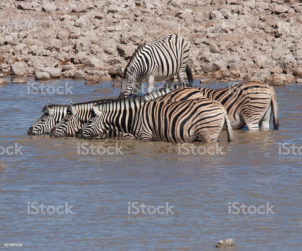 Group of zebra at a waterhole in Etosha Namibia 10 stock photo