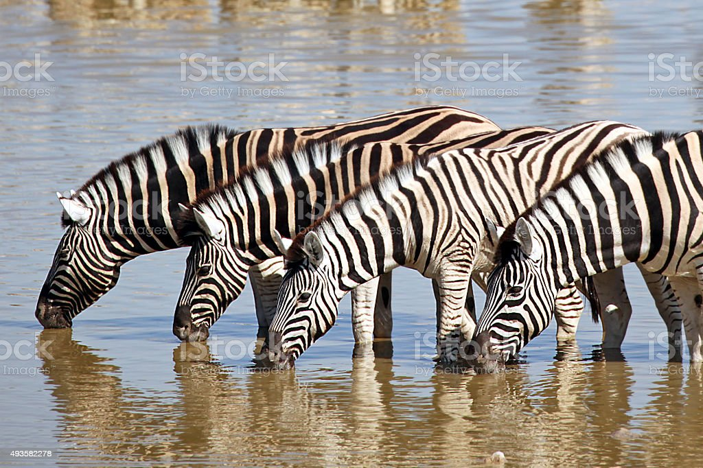 Group of Zebras Drinking at Waterhole in Etosha National Park stock photo