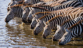 Group of zebras drinking water from the river.