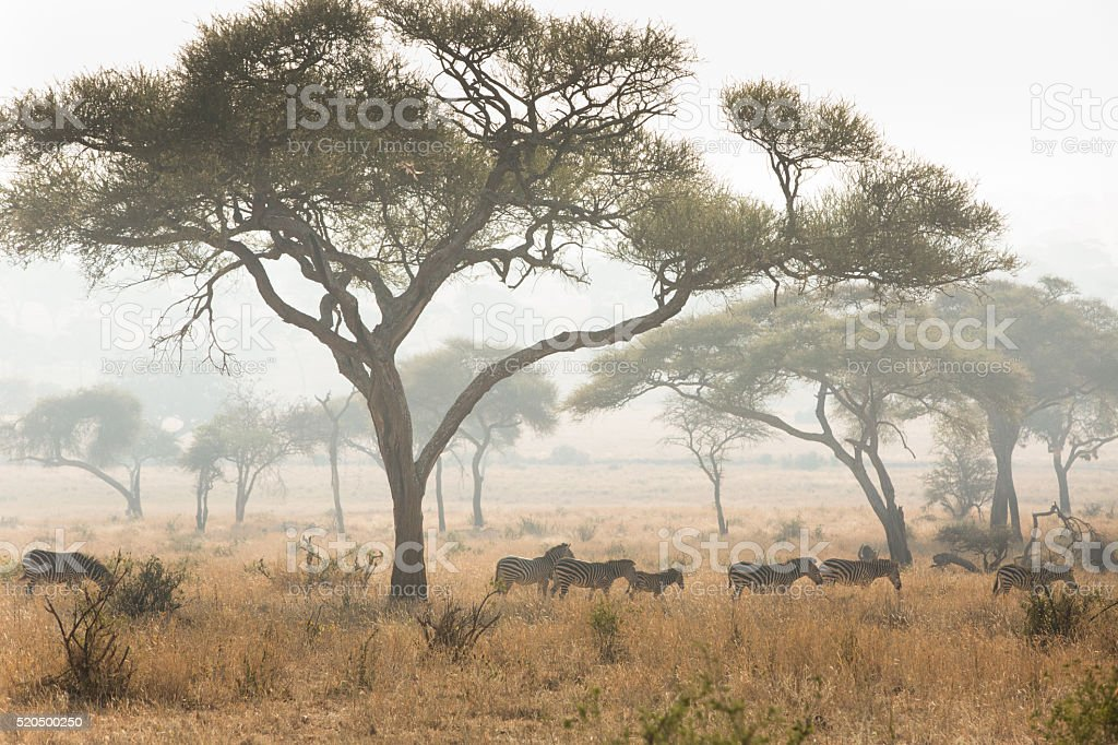 Group of zebras in the savannah stock photo