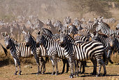 Group of zebras in the savannah.