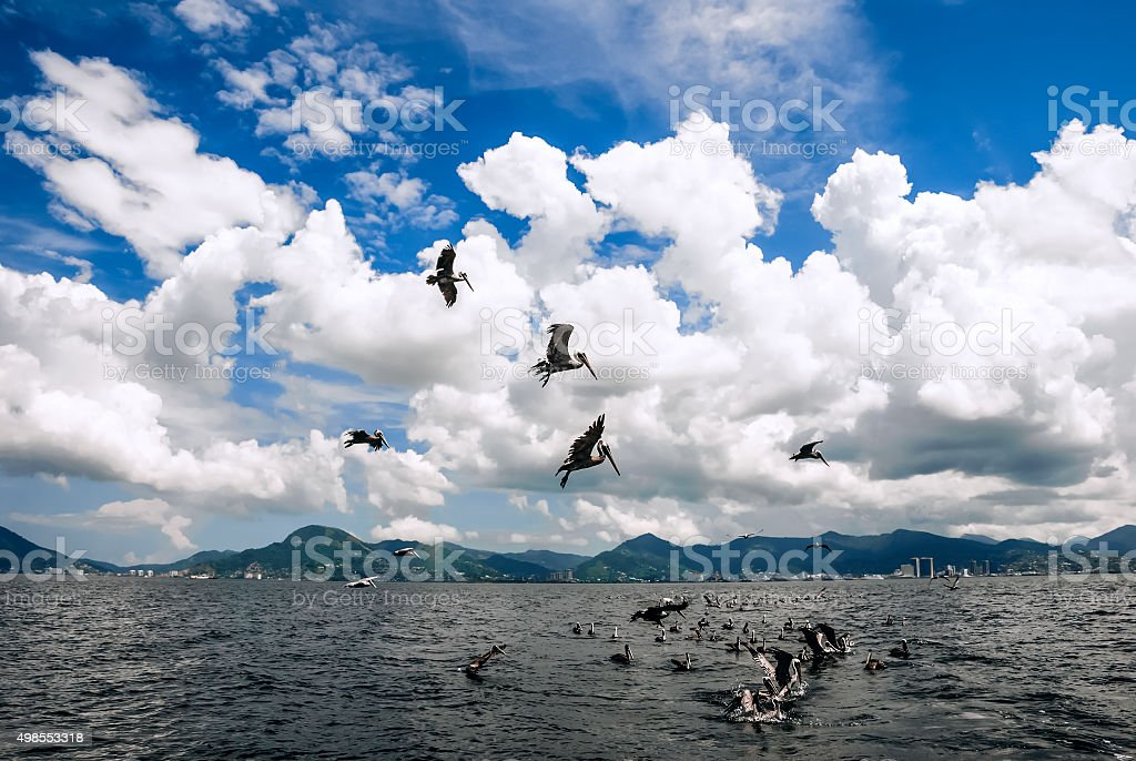 Group pelicans catching fish flying above Trinidad Tobago stock photo