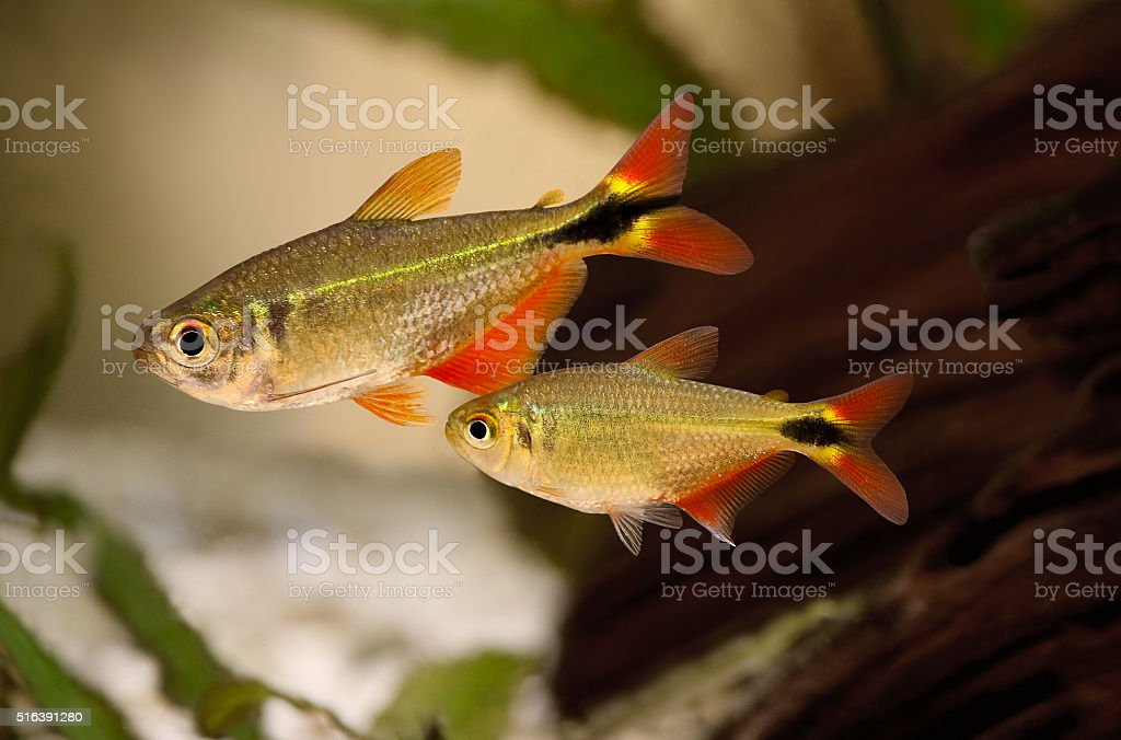 Group pf buenos aires tetra Hyphessobrycon anisitsi tropical aquarium fish stock photo