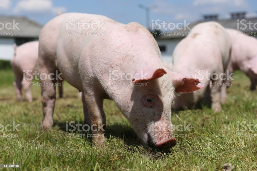 Group photo of young piglets enjoying sunshine on green grass near the farm stock photo