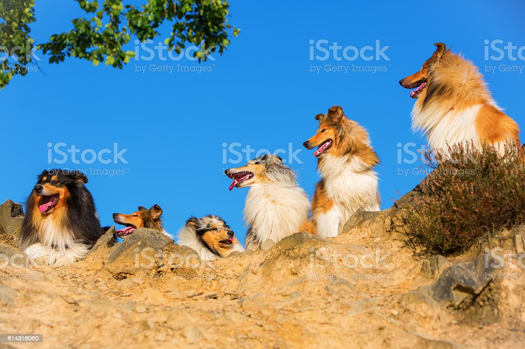 group portrait of beautiful collie dogs sitting in a row stock photo