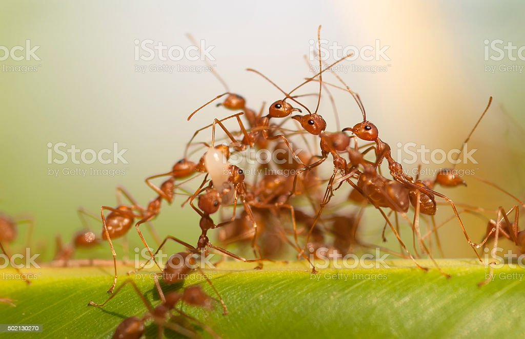 group red ants on banana leaf stock photo