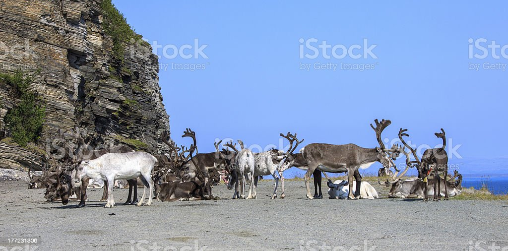 group reindeer a rest stock photo