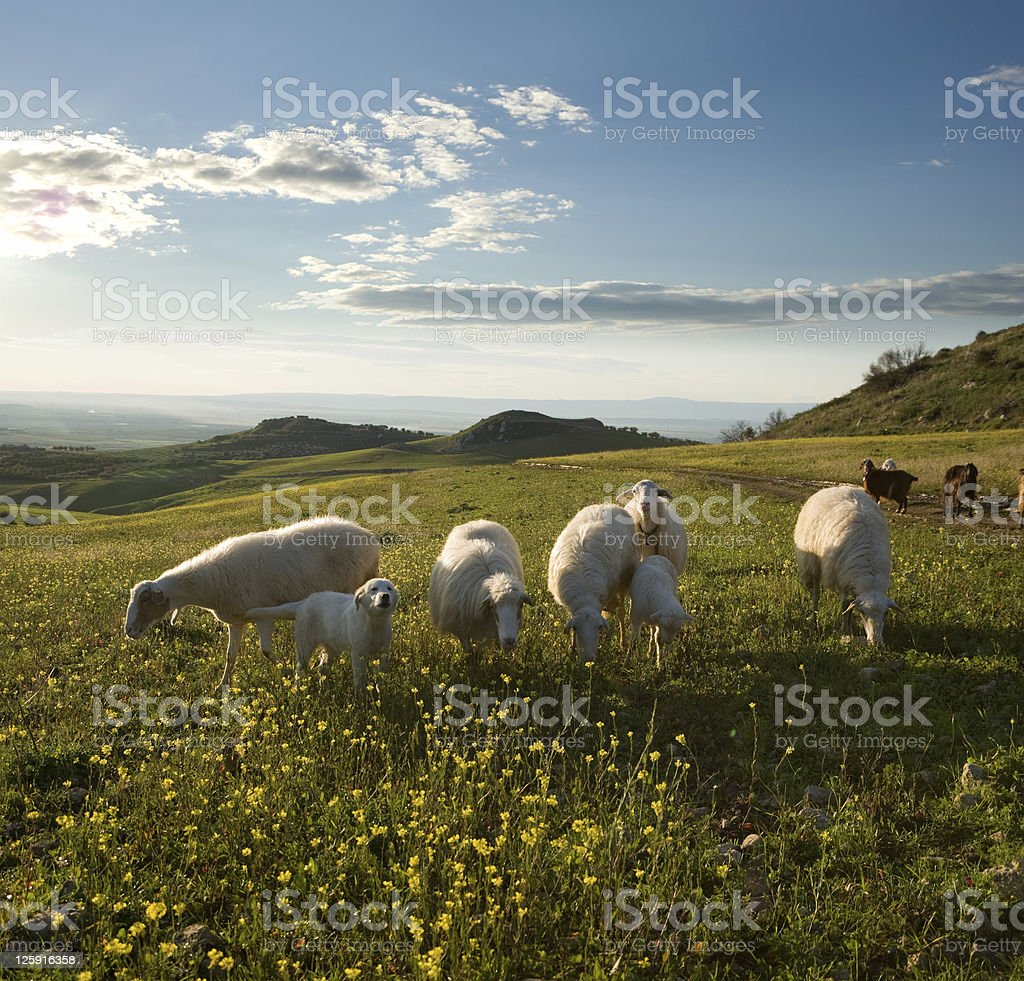 Group sheep and young dog in flowered field to sunrise royalty-free stock photo