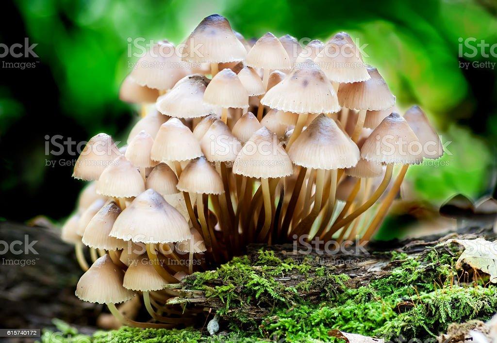 Group toadstools mushrooms on a tree stump stock photo