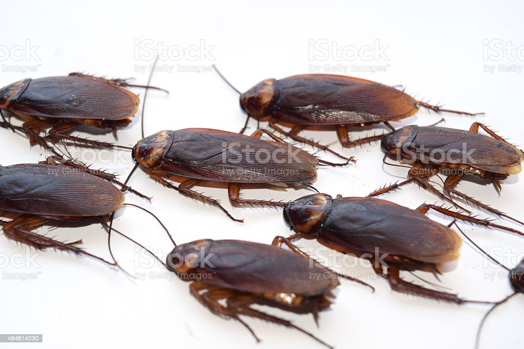 Group walk cockroach isolate on white background stock photo