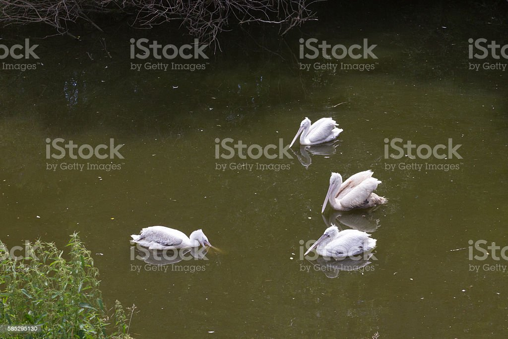 group white  pelicans birds stock photo