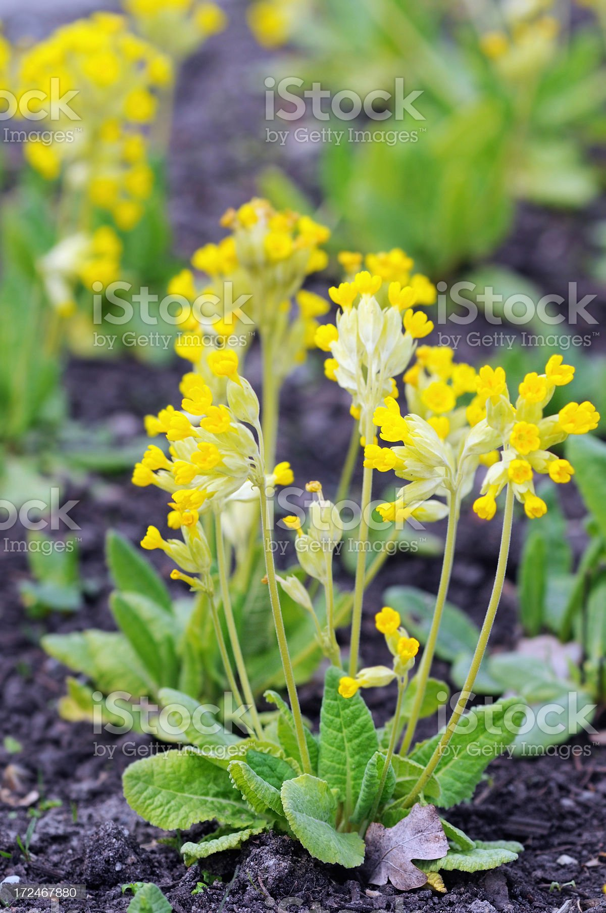 group yellow Primula veris Cowslip (Temperate Flower) royalty-free stock photo