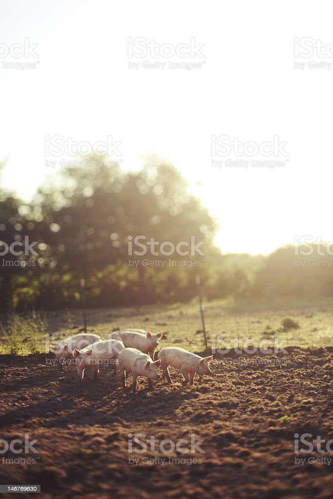 grouped pigs with sun haze in the background stock photo