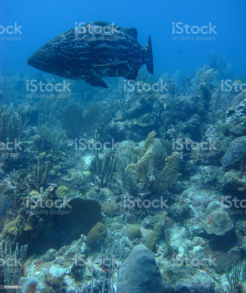 Grouper and Coral Reef stock photo