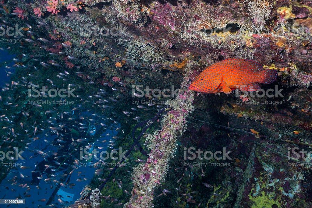 Grouper and Luminous cardinalfish in Underwater Wreck stock photo