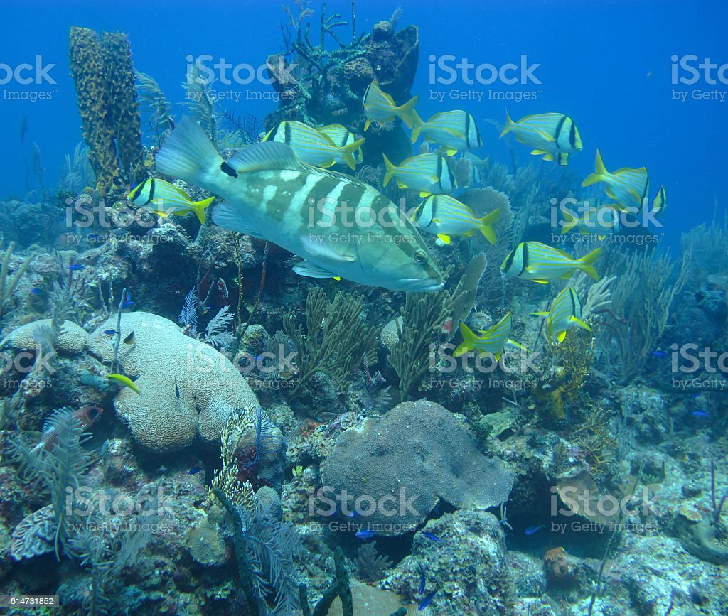 Grouper and Tropical Fish stock photo