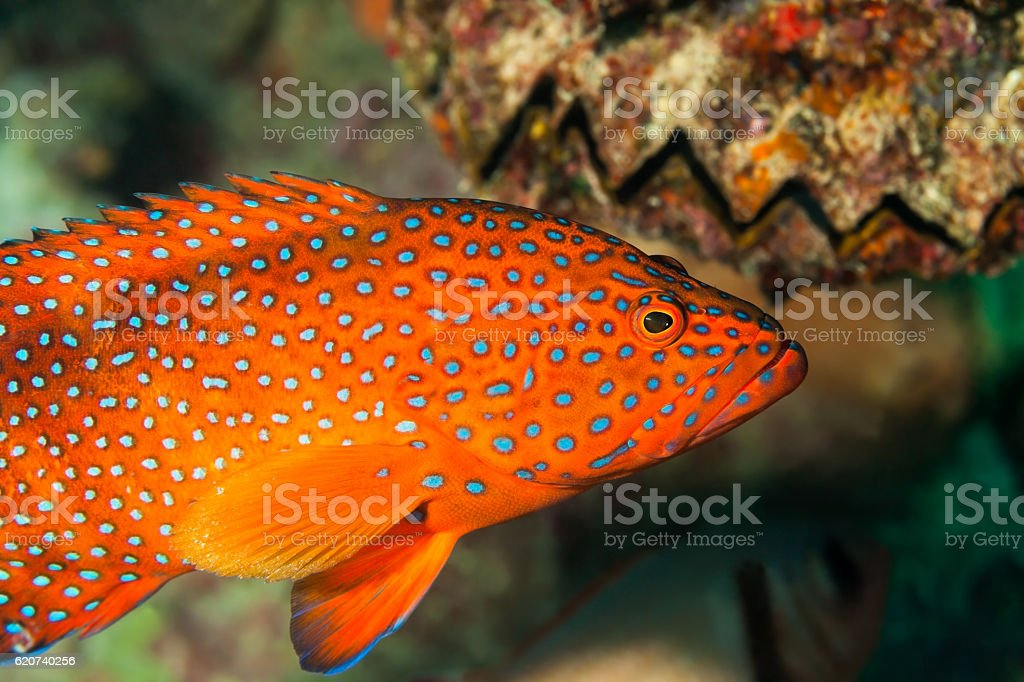 Grouper Beauty, Coral Hind Cephalopholis miniata, Outer Reef, Praslin, Seychelles. stock photo