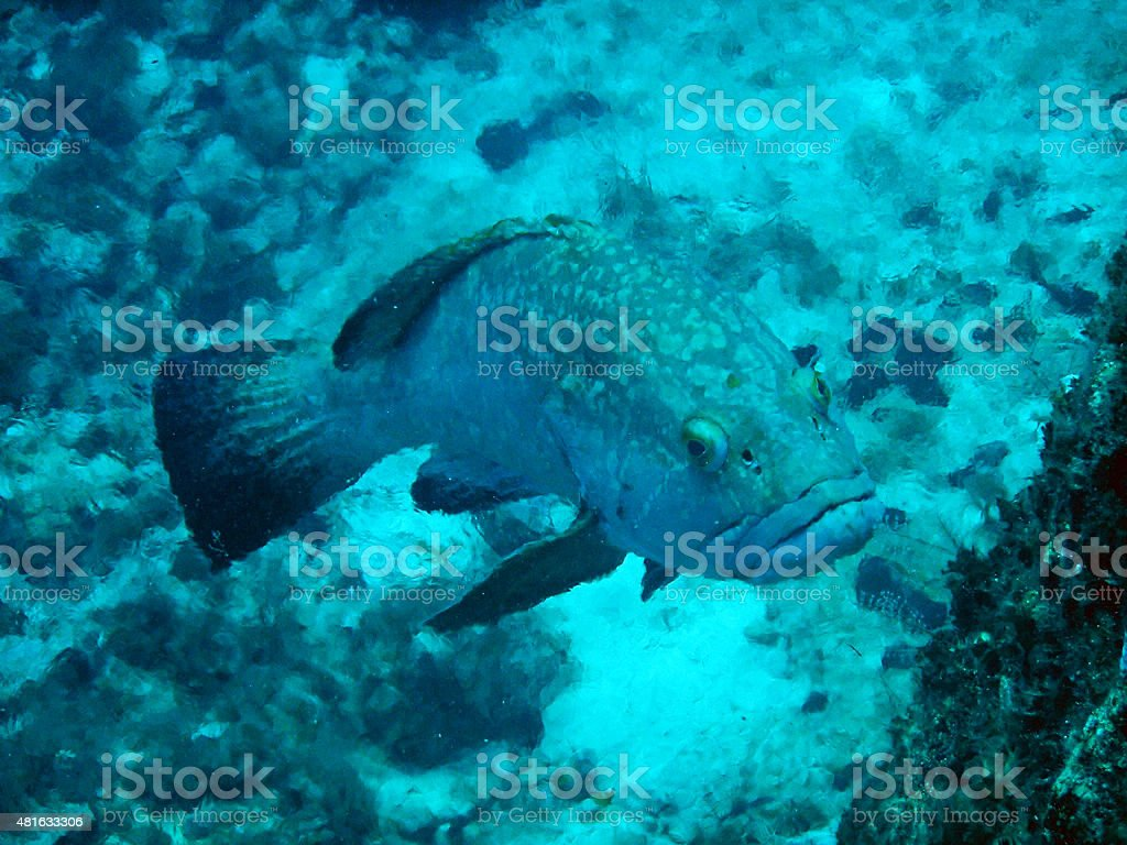 Grouper behind the thermocline, crystal layer stock photo