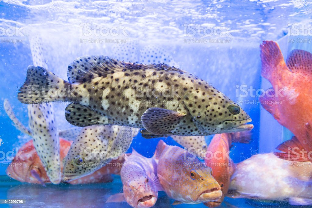 Grouper fish in restaurant aquarium tank for sale stock photo