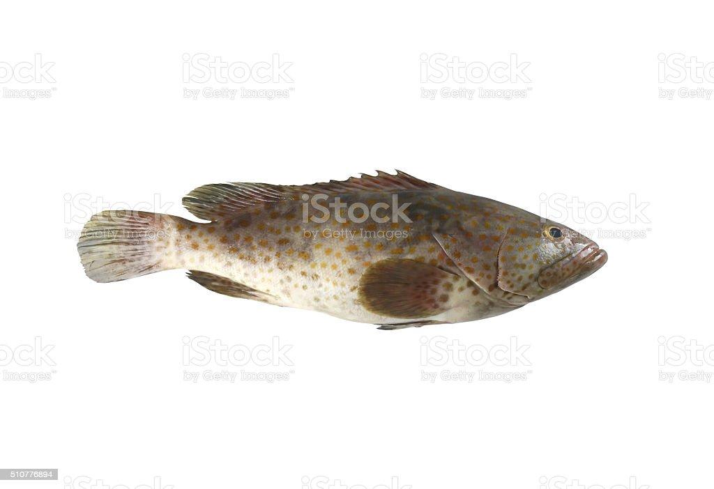 grouper fish isolated on white background. stock photo
