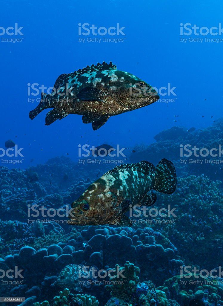 Grouper fish pair stock photo