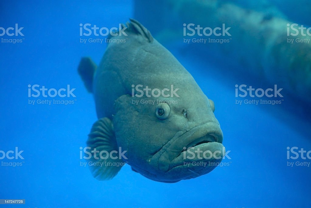 Grouper fish royalty-free stock photo