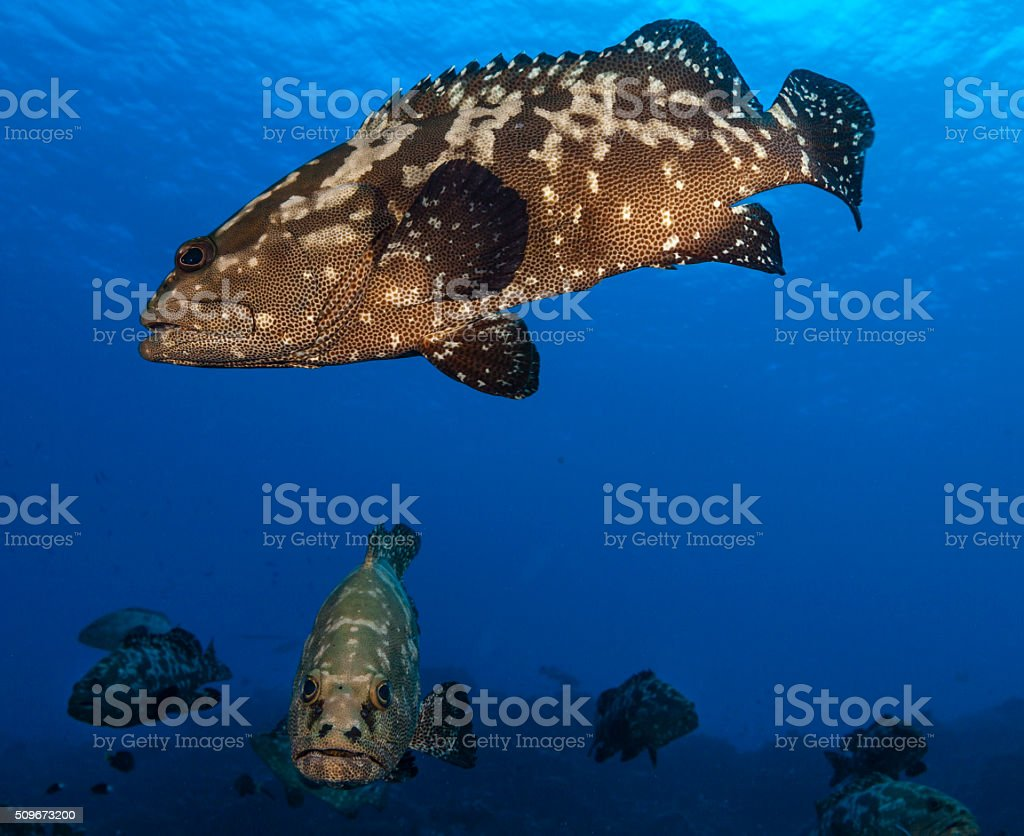Grouper fish stock photo