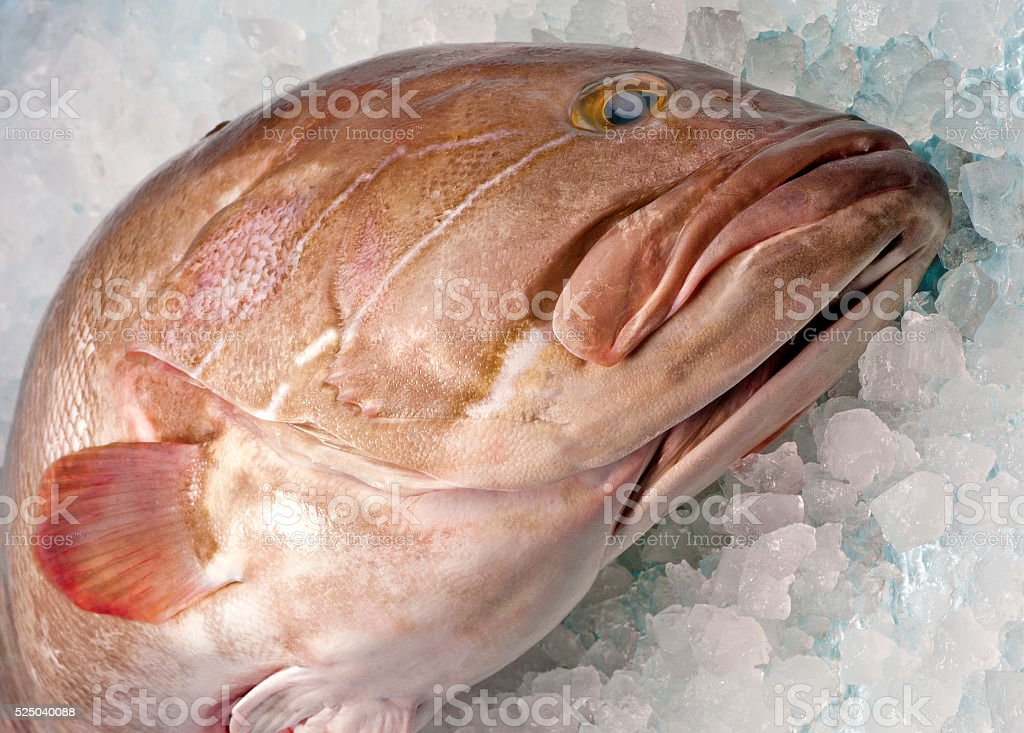 Grouper Fish stock photo