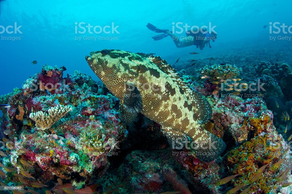 grouper on colourful reef stock photo
