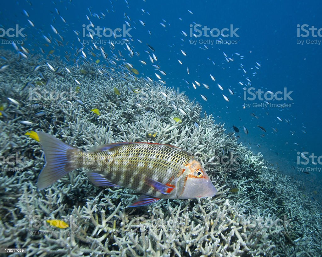 Grouper on reef royalty-free stock photo