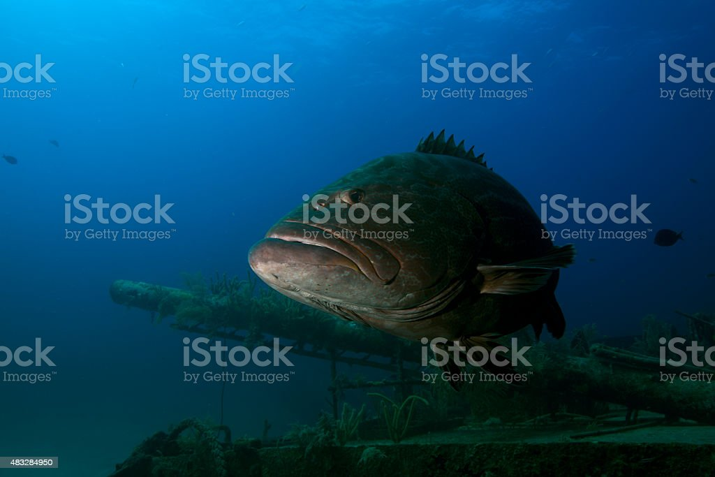 Grouper on Ship Wreck stock photo