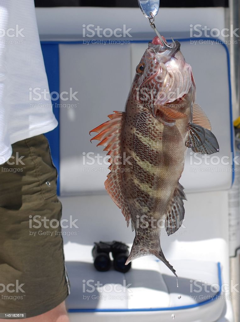Grouper on the hook royalty-free stock photo