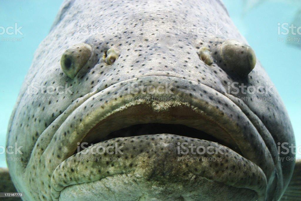 Grouper royalty-free stock photo