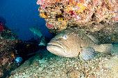 grouper sweetlips school of fish underwater