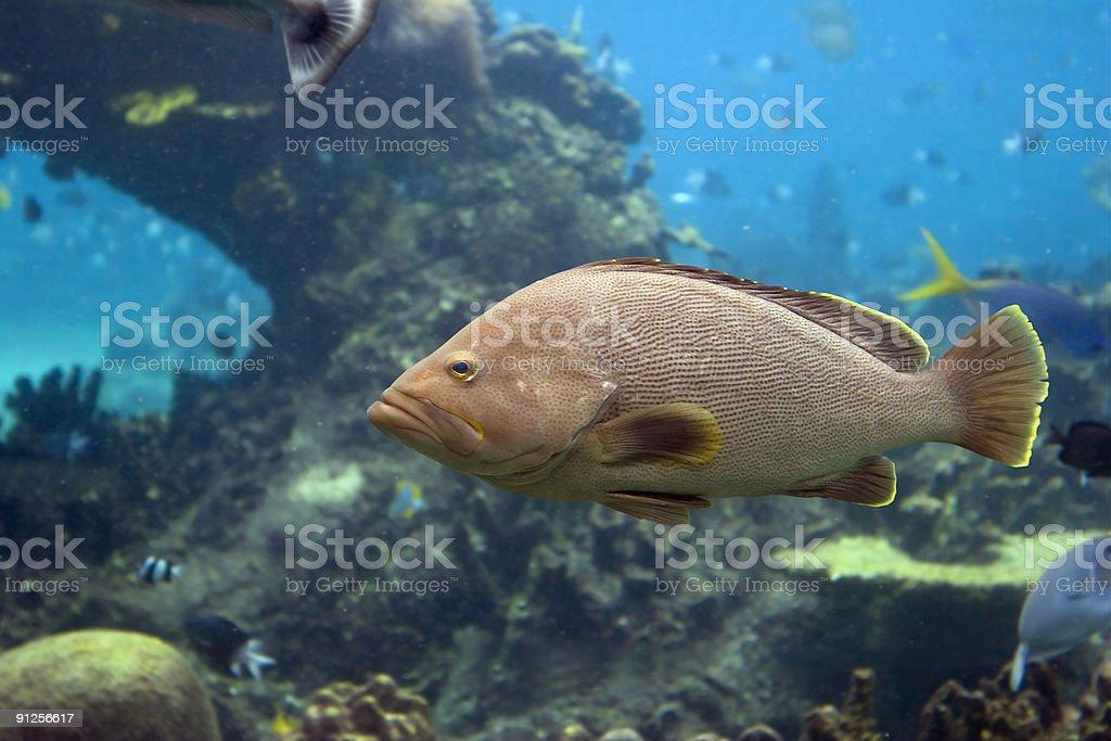 Grouperfish stock photo