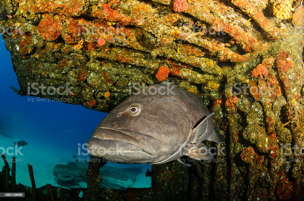 Groupers from the sea of cortez stock photo