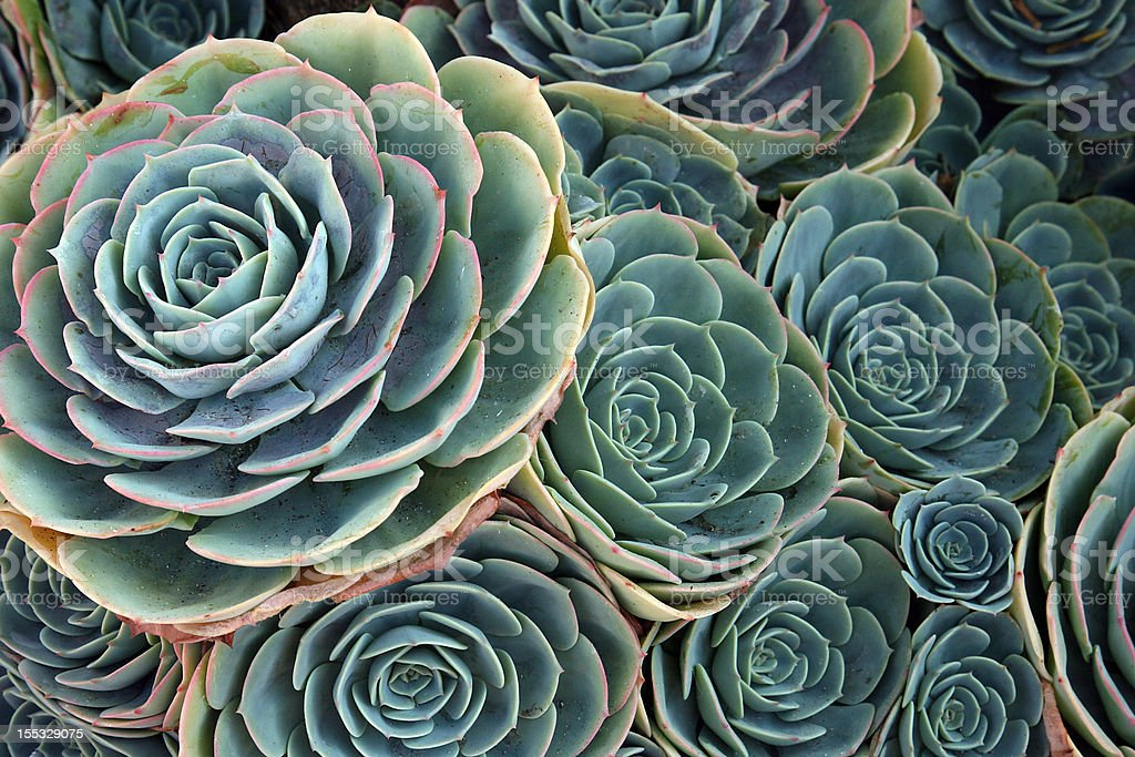 Grouping of green Aeonium tropical plants royalty-free stock photo