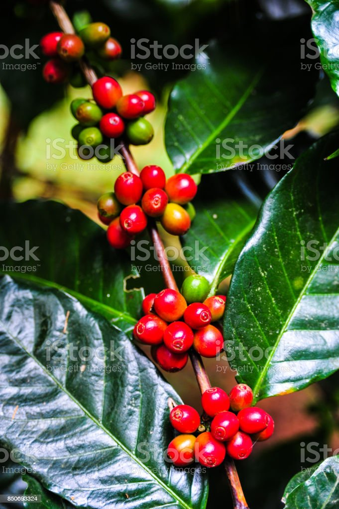 Groups of colorful coffee beans on coffe tree stock photo