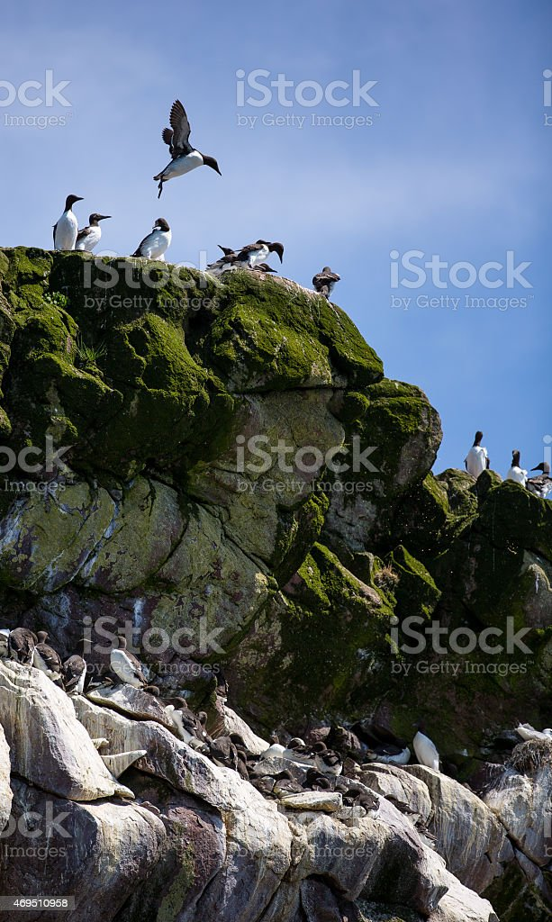 Groups of Common Murre on rocks stock photo