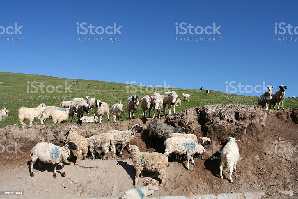 Groups of sheep eat earth beside grassland stock photo